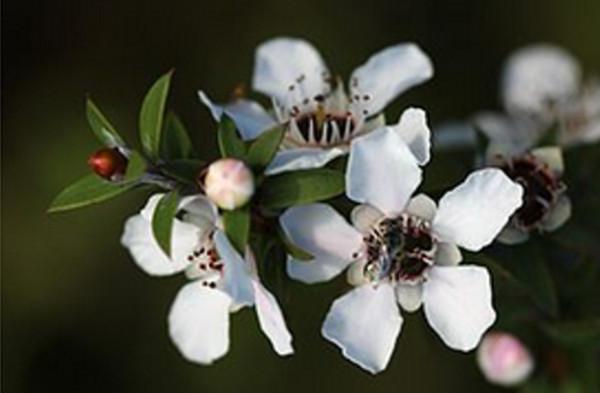 astonishing-facts-about-manuka-honey